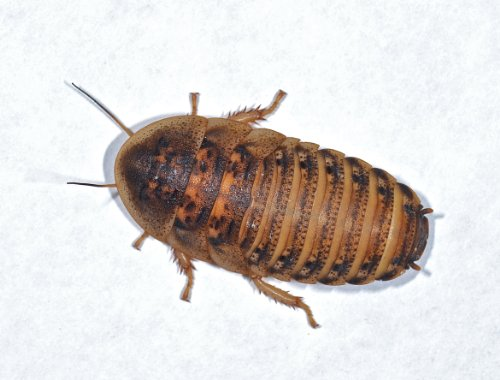 live-dubia-roaches-for-feeding-reptiles-100-medium-mix-1-2-to-7-8