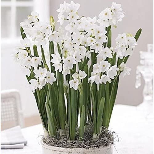 30 Ziva Paperwhites 14-15cm- Indoor Narcissus: Narcissus Tazetta--nice, Healthy Bulbs for Holiday Forcing!