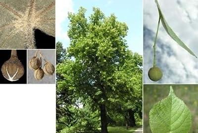 Big Leaf Linden. 50 seeds. trees, seeds