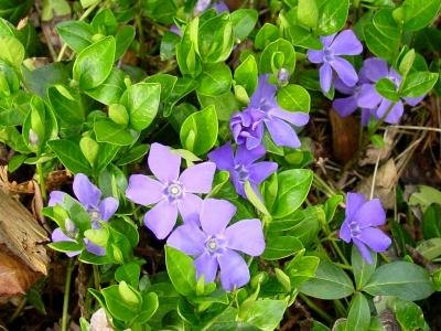 Classy Groundcovers - Periwinkle 'Traditional' Common/Creeping Periwinkle/Myrtle, Creeping Myrtle {50 Bare Root Plants} by Classy Groundcovers (Image #5)