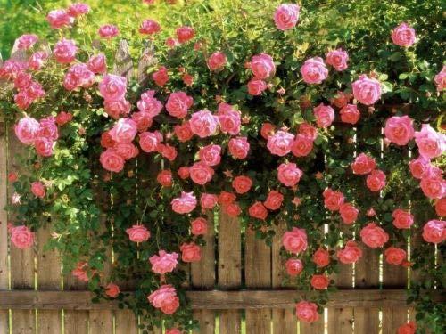(5 Pink Climbing Rose Rosa Bush Vine Climber Fragrant Butterfly Flower Seeds)