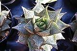 Echeveria purpusorum Cactus Cacti Succulent Real Live Plant