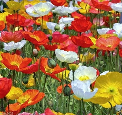 Iceland Poppy 5000 Seeds Mix,Pink,Yellow,Orange,Rose,White,Cream and Bicolors !