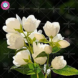 11.11 Big Promotion!30 pcs/lot rare colorful Jasmine seeds Chinese tree bonsai seed garden&home organic herb plant