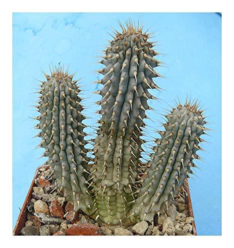 Hoodia Gordonii Stapeliads Asclepiads 5 Seeds Buy Online