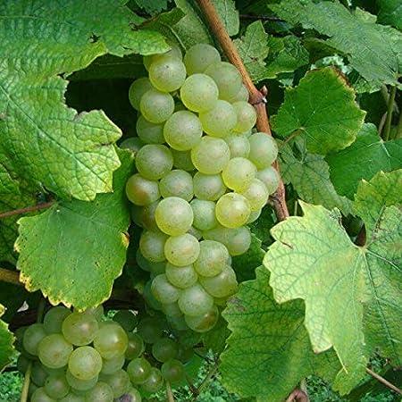 Chardonnay White Wine Grape Vine 3 gallon Live Plant Home Garden Easy to Grow