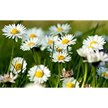 HERB SEEDS: CHAMOMILE 100 Seeds - Perfect For Tea, Apple Scent *Easy To Grow* High Quality & Germation - Fresh Seed