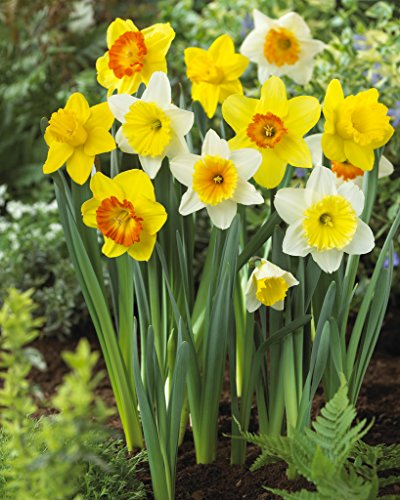 Bloomsz Large Cupped Daffodil Mix Flower Bulb (20-Pack) ()