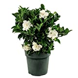 AMERICAN PLANT EXCHANGE Gardenia Bush Miami Supreme Live Plant 6'' 1 Gallon Fragrant Blooms