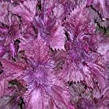 Perilla Seeds, Purple (Zi Su, Aka Shiso)- Great Looking in the Garden!(50 - Seeds)