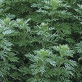 Outsidepride Artemisia Wormwood Herb Plant Seed - 5000 Seeds