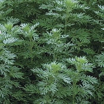 5000 Seeds Outsidepride Artemisia Wormwood Herb Plant Seed