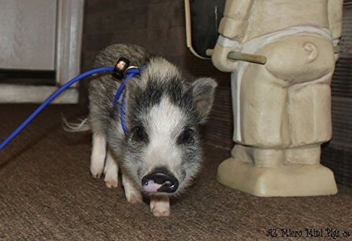 AZ Micro Mini Pigs Mini Pig Harness -Adjustable- also fits Pot Belly Pigs and other small animals -ferret, rabbit, dog, cat (Pot Belly Dogs)