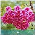 zlking 20 pcs Japanese Sakura Seeds Flower Cherry Blossoms Cherry Tree Ornamental Plant 1