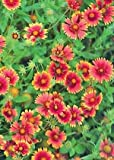 Indian Blanket (Gaillardia pulchella), Seed Packet, True Native Seed