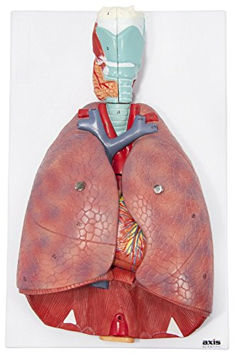 Axis Scientific 7-Part Human Lung and Respiratory System (3/4 Life-Size)