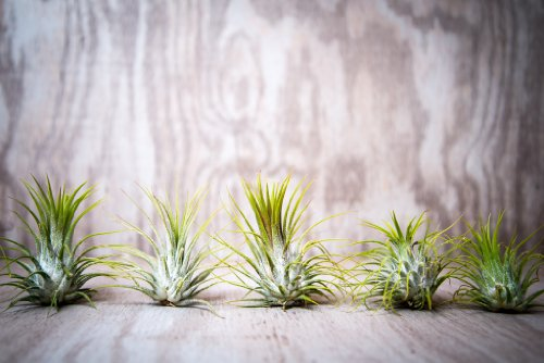 Hinterland Trading Five Pack Guatemalan Air Plants Tillandsia