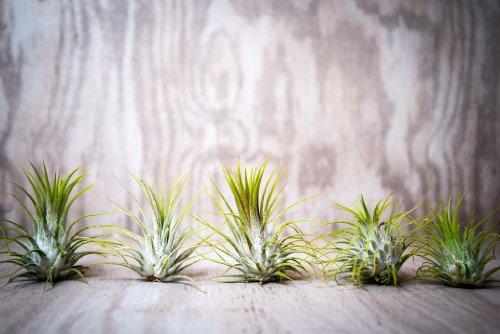 Hinterland Trading Guatemalan Plants Tillandsia