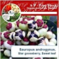 Sauropus androgynus 40 Seeds, Star gooseberry, Sweet leaf, Very Rare, From Thai