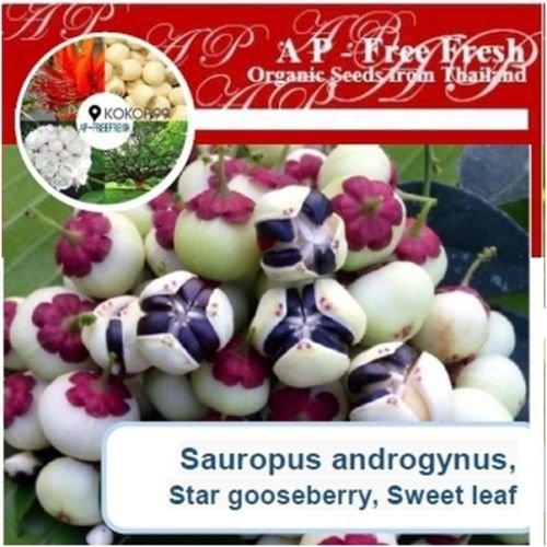 (Sauropus androgynus 40 Seeds, Star gooseberry, Sweet leaf, Very Rare, From Thai)