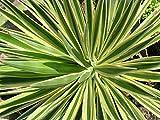 Home Comforts Laminated Poster Aloifolia Yucca Variegata Poster Print 24 x 36