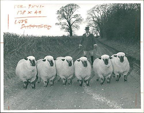 - Vintage photo of British Sheeps For Paris Show.