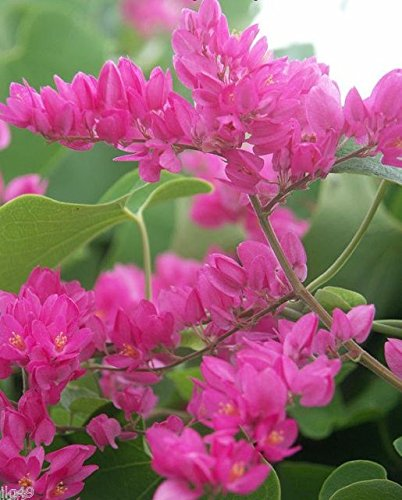 Amazon 1189 7 tropical chinese love vine seeds flowering 1189 7 tropical chinese love vine seeds mightylinksfo