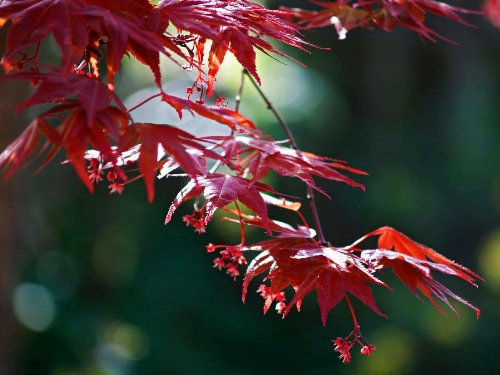 Japanese Red Maple Tree (2-3 feet tall} by Japanese Maples and Evergreens (Image #4)