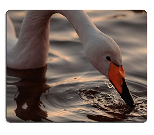 msd-mousepad-image-id-24592374-a-closeup-portrait-of-whooper-swan-drinking-from-the-rippling-surface
