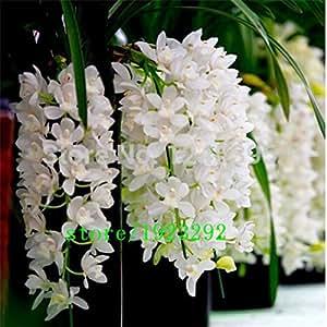 Gran promoci n 100 pcs oscuras semillas de color rojo chino cymbidium flor de interior en maceta - Semillas de interior ...