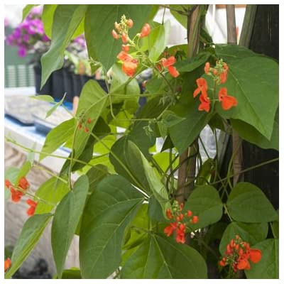 David's Garden Seeds Flower Scarlet Runner Bean SL1873 (Red) 25 Non-GMO, Heirloom Seeds : Bean Plants : Garden & Outdoor