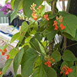 David's Garden Seeds Flower Scarlet Runner Bean SL1873 (Red) 25 Non-GMO, Heirloom Seeds