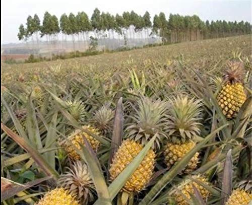 - 100pcs Seeds Sweet Pineapple Fruit Dwarf Trees Home Gardening Outdoors Planting