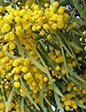 Acacia Saligna aka golden wreath wattle ... 25 seeds