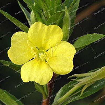 Planta Malacoides Primula Evening Primrose rara flor Bonsai Semillas Europea Primrose semillas de plantas para jardín 100 PC / bolso: Amazon.es: Jardín