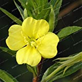 Evening Primrose Flower Bonsai Seeds European Primrose Seeds Plant Primula Malacoides 100 Seeds 2#32837156178ST