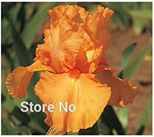 20 seeds/pack Iris Seeds Bold Colors Bearded Iris Collection Seeds Colorful Flower Seeds Pack Home Garden Flower Plants