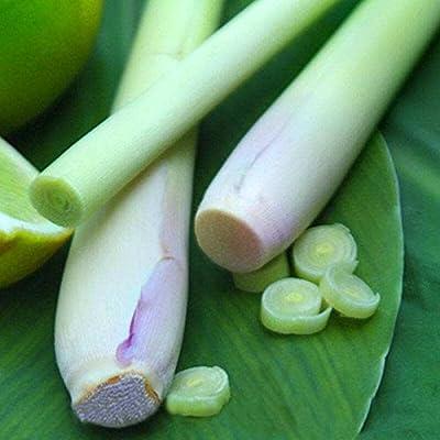 400 Lemon Grass Seeds Herb Edible Lemongrass Kitchen Vegetable seeds Medicinal Use : Garden & Outdoor