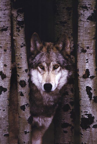 Gray Wolf - 24x36 Inches - POSTER