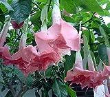 Brugmansia Pink Delight - angels trumpet - 10 seeds