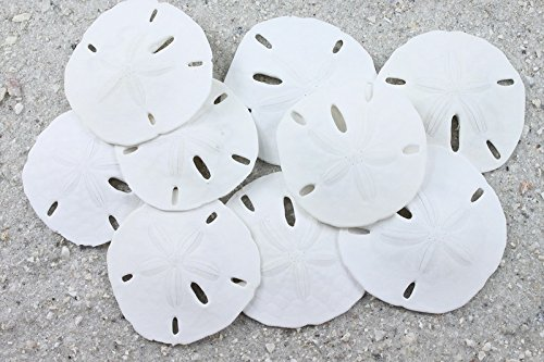 Real Sand Dollars - Florida Keyhole Sand Dollars Sea Shell Craft, Wedding, Home Decor, Aquarium Safe - Hand Selected, Best quality by Austin Sea Collection ((10 Pack) Large - 2.5