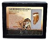 "Carcharodontosaurus Dinosaur Tooth 1.721"" Fossil African T-Rex MDB #15031 13o"