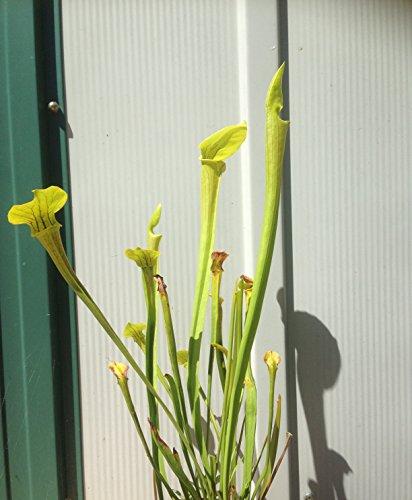 PITCHER PLANT Sarracenia Flava CARNIVOROUS Live Plant / Bulb (Small 3+ inches) ()