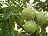 "English Walnut, Juglans Regia ""Carpathian"", Tree 1 Seeds"