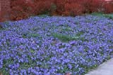 Classy Groundcovers - Vinca minor 'Traditional' (Periwinkle 'Traditional', Common/Creeping Periwinkle/Myrtle, Creeping Myrtle) {25 Pots - 3 1/2 in.}