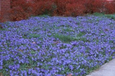 Classy Groundcovers - Vinca Minor 'Traditional' {50 Bare Root ()