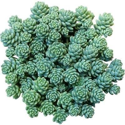Sedum dasyphyllum Major Corsican Stonecrop Blue Tears Sedum (4 inch) : Garden & Outdoor