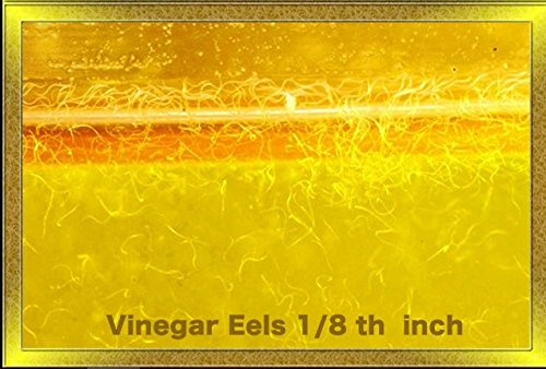 Picture of Vinegar Eels (8 Full Ounces) Live Food for Tiny Fish Fry, Invertibrates and Corals