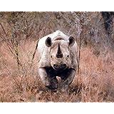 Black African Rhinoceros Wild Animal Wall Decor Art Print Poster (16x20)