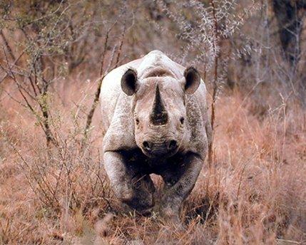 Black Rhinoceros Animals (Black African Rhinoceros Wild Animal Wall Decor Art Print Poster (16x20))
